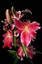 Fleur : Lys rose