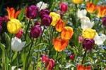 Fleur : Champ de tulipes
