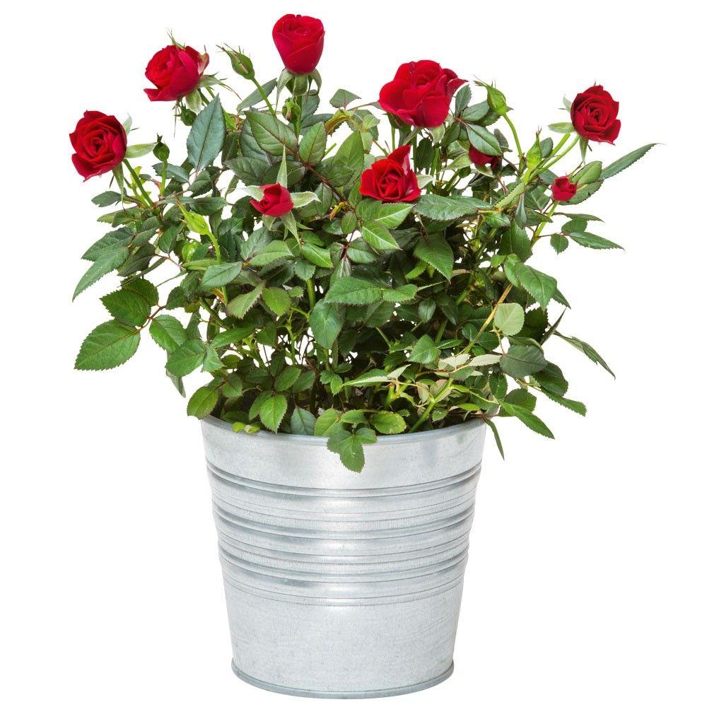 Rosier rouge rosiers livraison en express florajet - Rosier en pot soleil ...