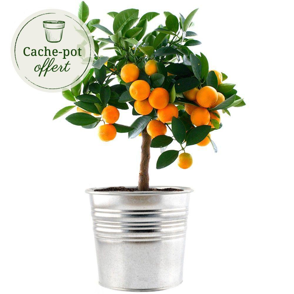 Calamondin plantes et arbustes livraison express florajet for Plantes et arbustes