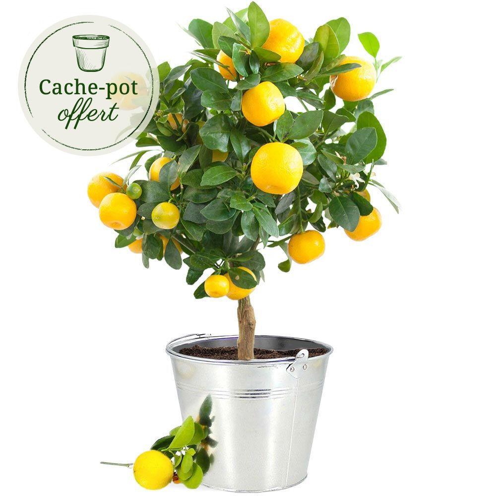 citronnier plantes et arbustes livraison express florajet. Black Bedroom Furniture Sets. Home Design Ideas