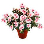 Fleurs deuil : Plante fleurie pour obsèques.