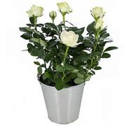 ROSIER BLANC - florajet