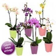6 MINI ORCHIDEES - florajet