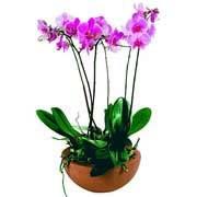 COUPE DE PHALAENOPSIS - florajet