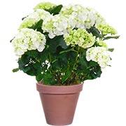 HORTENSIA BLANC - florajet