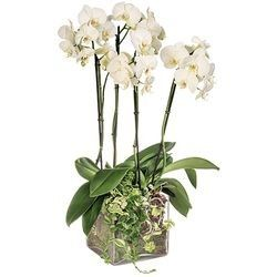 ORCHIDEE BLANCHE 4 BRANCHES