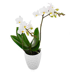 ORCHIDEE BLANCHE 2 BRANCHES EN POT