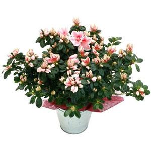 Livraison de la plante fleurie azalee par florajet for Livraison fleurs demain