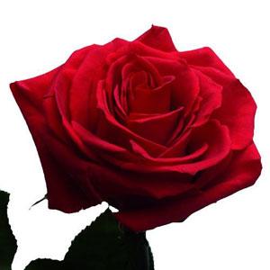 Découvrez sans attendre cette rose exceptionnelle ! D'un rouge éclatant et profond, déesse est l'incarnation de la beauté éternelle. Cueillie lorsqu'elle est arrivée à maturité, la rose a immédiatement bénéficié d'un processus de préservation qui lui permet de conserver son éclat durant plusieurs mois. En bouquet ou en soliflore, offrez-vous ce bijou unique et précieux signé Florajet. Nouveau ! Livraison rapide par Si vous souhaitez une livraison rapide ou une livraison le samedi matin, cliquez-ici. Pour découvrir notre mini-site, cliquez-ici.Découvrez aussi notre rose DEESSE blanche, rose DEESSE jaune, rose DEESSE pêche et notre duo de roses DEESSE. Nos conseils pour profiter au mieux de votre déesse Conservez votre rose dans un endroit sec et sans exposition directe au soleil. Ne pas mettre votre rose dans l'eau.