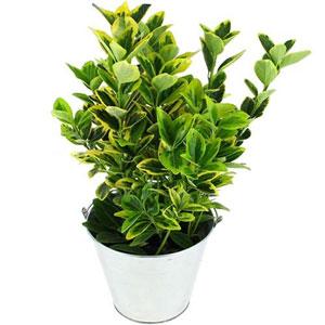 livraison de la plante verte fusain par florajet. Black Bedroom Furniture Sets. Home Design Ideas
