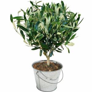 Livraison de la plante verte olivier par florajet for Catalogue plantes vertes