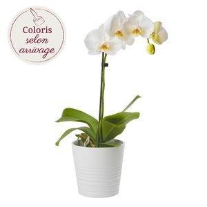 ORCHIDEE 1 BRANCHE