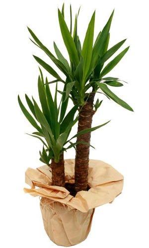 Livraison de fleurs yucca 2 pieds for Livraison de fleurs demain