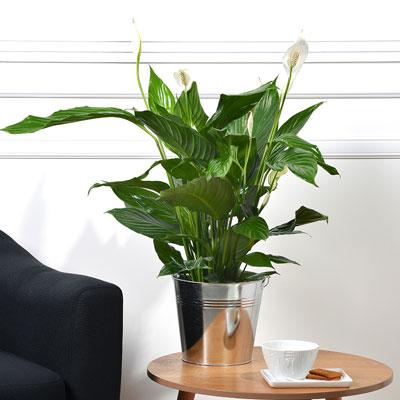 Livraison de fleurs spathiphyllum for Livraison de fleurs demain