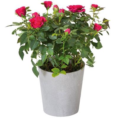 Livraison de fleurs rosier fuchsia for Livraison de fleurs demain