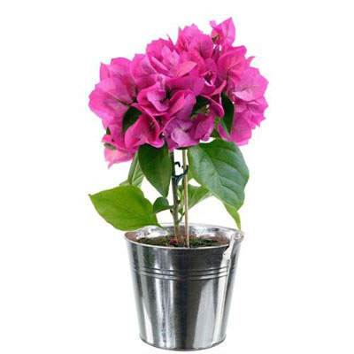 livraison de fleurs bougainvillier livraison france express. Black Bedroom Furniture Sets. Home Design Ideas