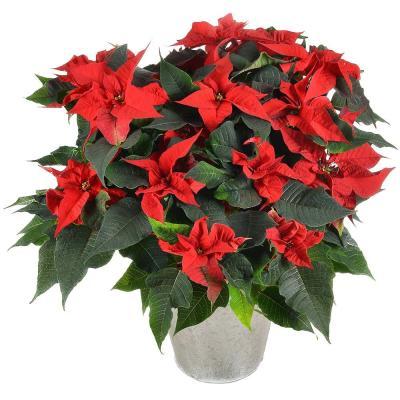 Livraison de fleurs poinsettia for Livraison de fleurs
