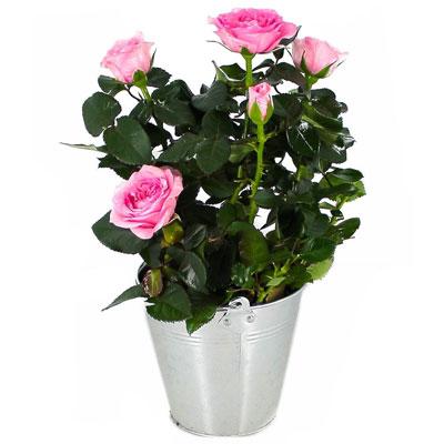 Livraison de fleurs rosier rose clair for Fleurs livraison demain