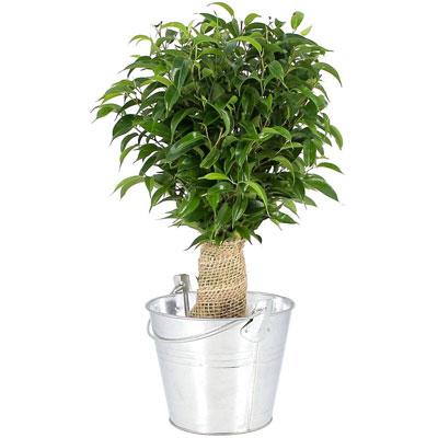 Livraison de fleurs bonsai ficus livraison france for Plante whisky