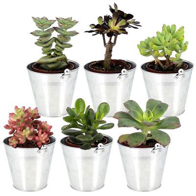 livraison de fleurs 6 mini plantes grasses livraison france express. Black Bedroom Furniture Sets. Home Design Ideas