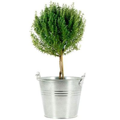 livraison de la plante verte thym en pot par florajet. Black Bedroom Furniture Sets. Home Design Ideas