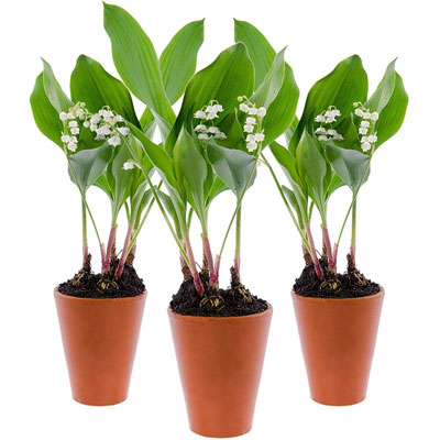 livraison de la plante fleurie 3 pots de 3 brins de muguet par florajet livraison france. Black Bedroom Furniture Sets. Home Design Ideas