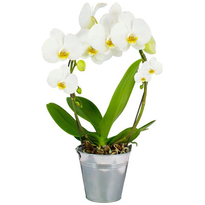 ORCHIDEE ANSE BLANCHE