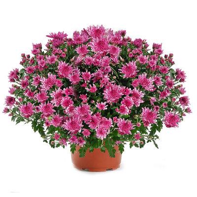 """Livraison de plante de deuil : """"CHRYSANTHEME ROSE"""" par ..."""