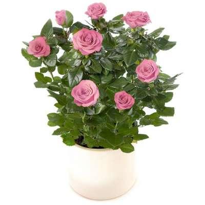 livraison de fleurs rosier rose. Black Bedroom Furniture Sets. Home Design Ideas