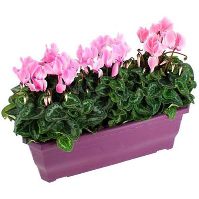 livraison de plante de deuil potee de cyclamens par florajet. Black Bedroom Furniture Sets. Home Design Ideas