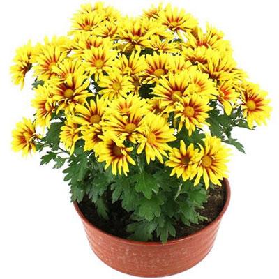 """Livraison de la plante fleurie """"CHRYSANTHEME JAUNE ORANGER ..."""