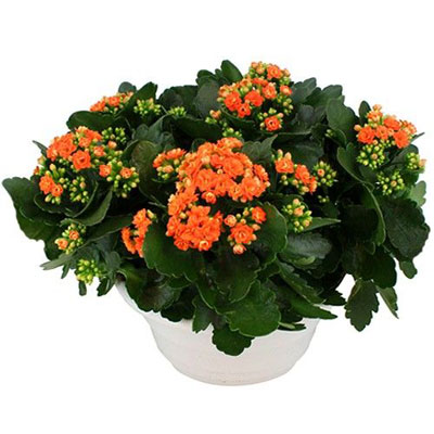 livraison de la plante fleurie automne kalanchoe orange par florajet. Black Bedroom Furniture Sets. Home Design Ideas