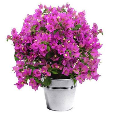livraison de fleurs bougainvillier livraison express