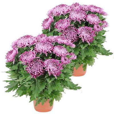 livraison de plante de deuil 2 chrysanthemes violet par florajet. Black Bedroom Furniture Sets. Home Design Ideas