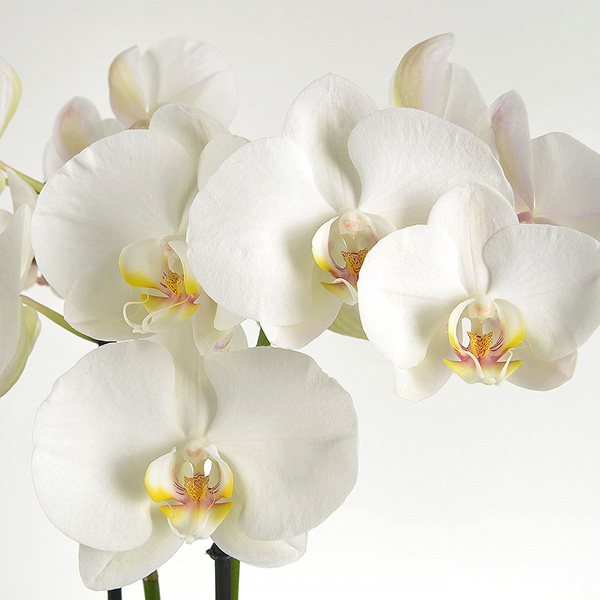 ORCHIDEE BLANCHE 2 BRANCHES - 2