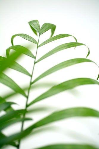 Plantes et Arbustes PALMIER ARECA