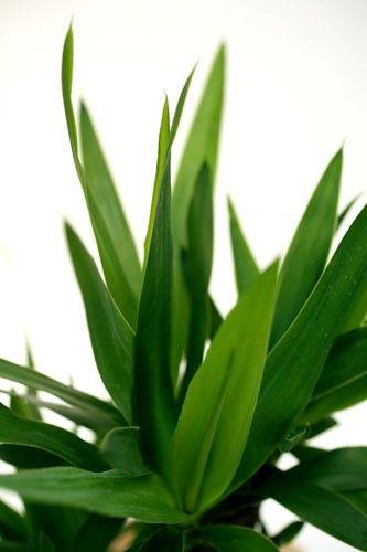 yucca 2 pieds plante verte livraison express florajet. Black Bedroom Furniture Sets. Home Design Ideas