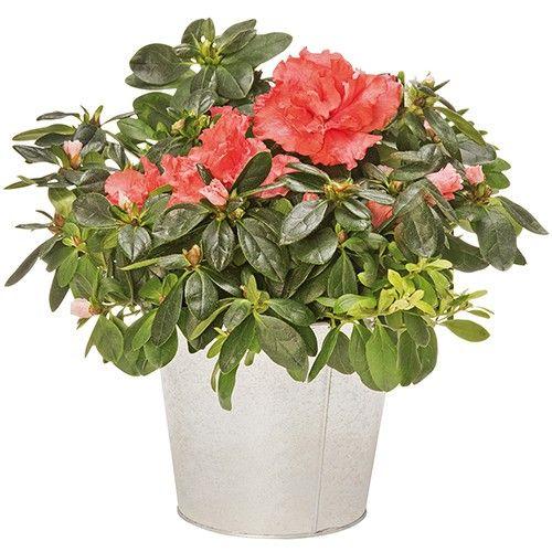 Livraison de fleurs azalee saumon for Livraison fleurs demain