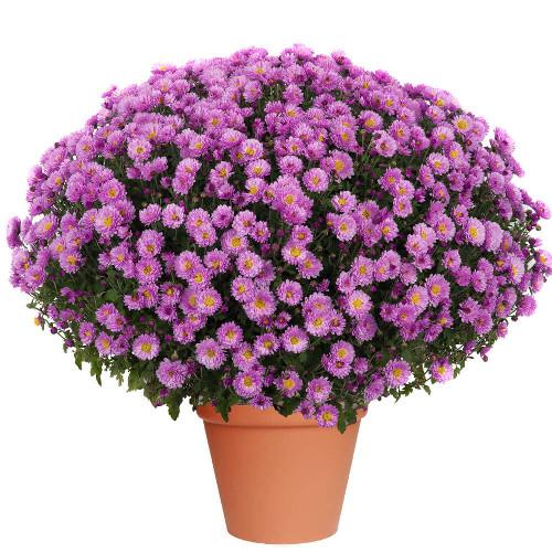 Une petite fleur de crysanthéme 1141