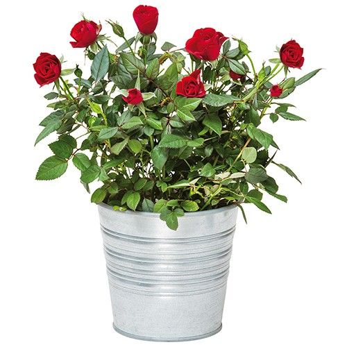 Livraison de fleurs rosier rouge for Livraison fleurs demain