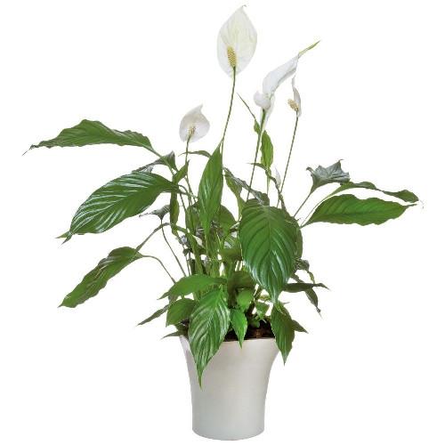 Livraison de fleurs spathiphyllum for Fleurs livraison demain