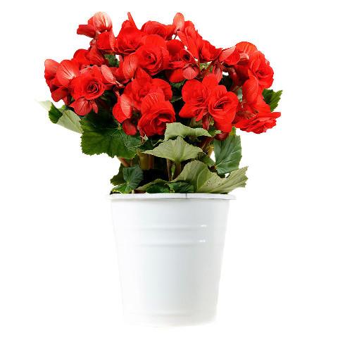 Livraison de fleurs begonia rouge for Livraison fleurs demain