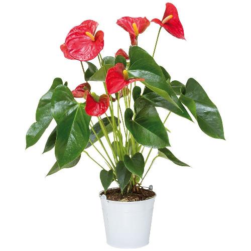 Livraison de fleurs anthurium for Livraison de fleurs demain