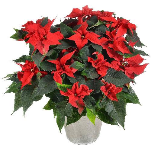 Livraison de fleurs poinsettia livraison espagne for Livraison de fleurs demain