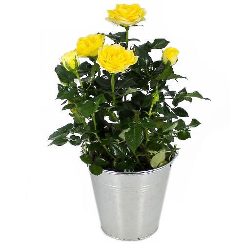 Livraison de fleurs rosier jaune for Fleurs livraison demain