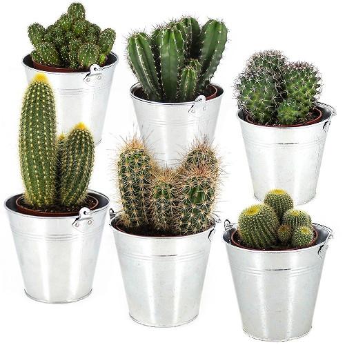 plantes et arbustes 6 cactus mix livraison express florajet. Black Bedroom Furniture Sets. Home Design Ideas
