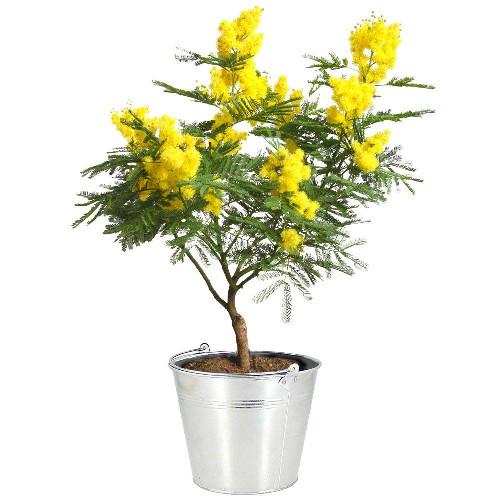 livraison de fleurs mimosa en pot livraison france express. Black Bedroom Furniture Sets. Home Design Ideas