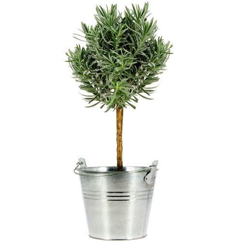 plantes et arbustes lavande en pot livraison express florajet. Black Bedroom Furniture Sets. Home Design Ideas