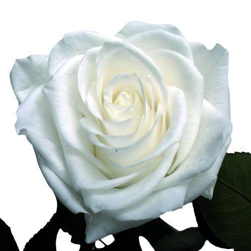 Livraison de rose deesse rose eternelle blanche par for Livraison rose